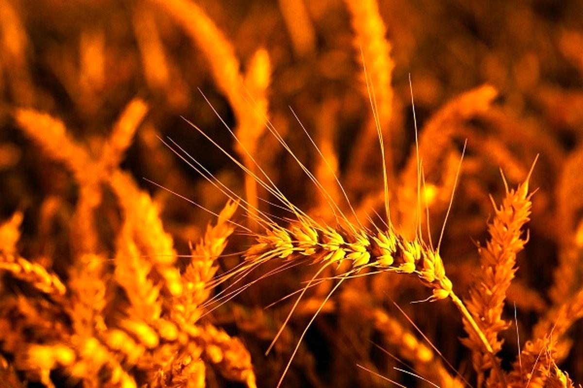 واریز 100 درصد وجوه خرید تضمینی گندم توسط بانک کشاورزی