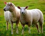 مرگِ گوسفندان در قشم به کرونا ارتباط ندارد