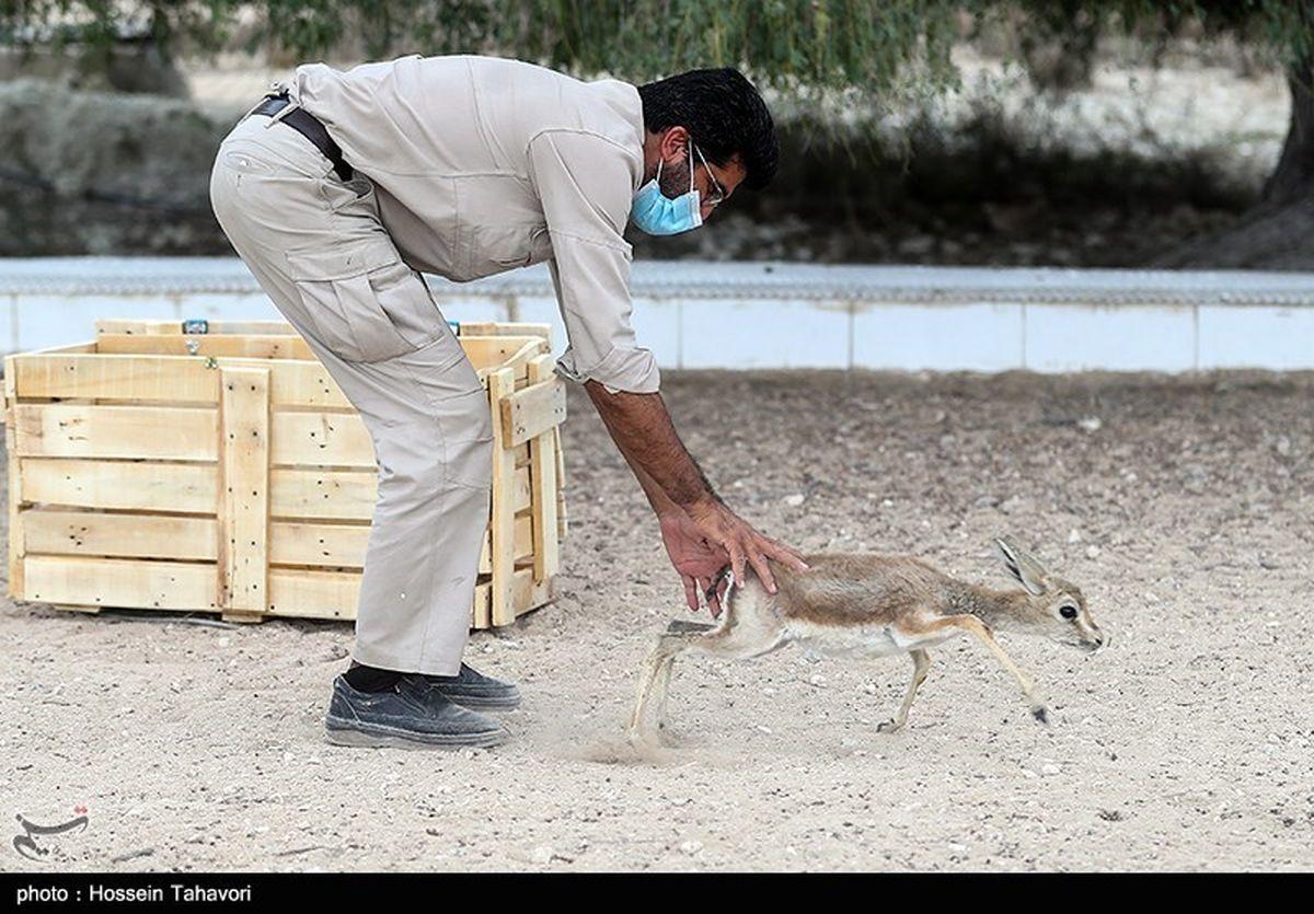 گزارش تصویری: رها سازی آهوی ایرانی در کیش