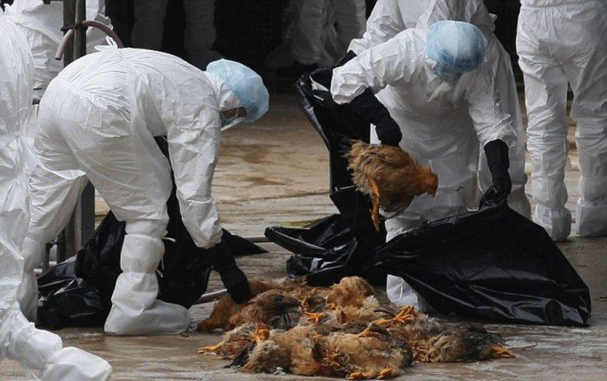 شیوع آنفلوانزای پرندگان در چین همزمان با کرونا