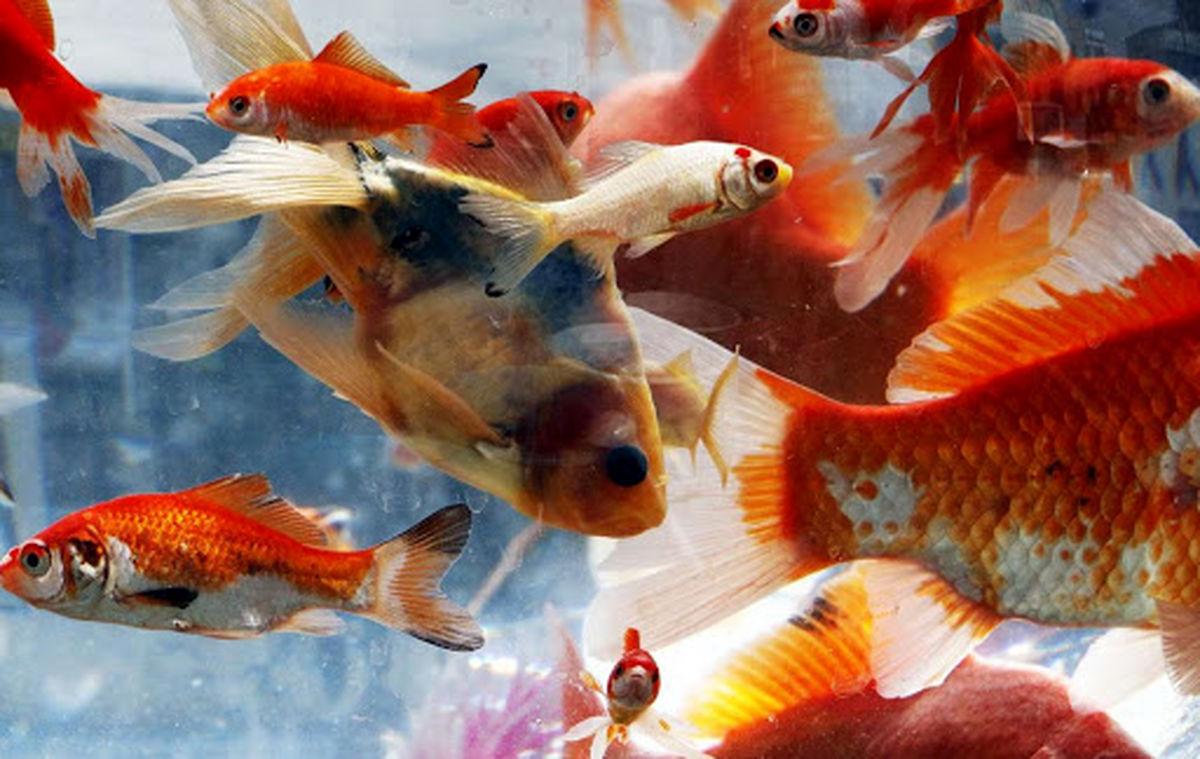 ماجرای «کرونا» و ماهی قرمز چینیِ عید چیست؟
