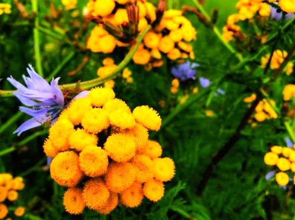 گیاه بومادران زرد