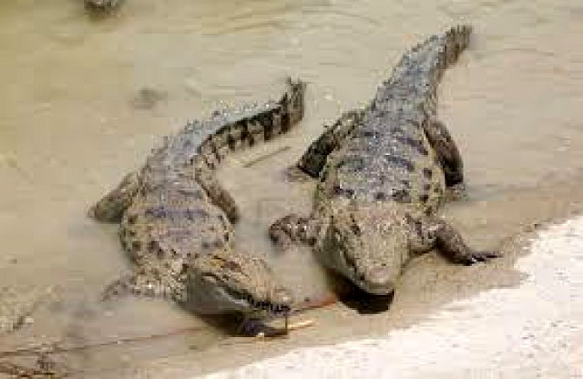 دیده شدن تمساح در دریاچه چیتگر + جزئیات