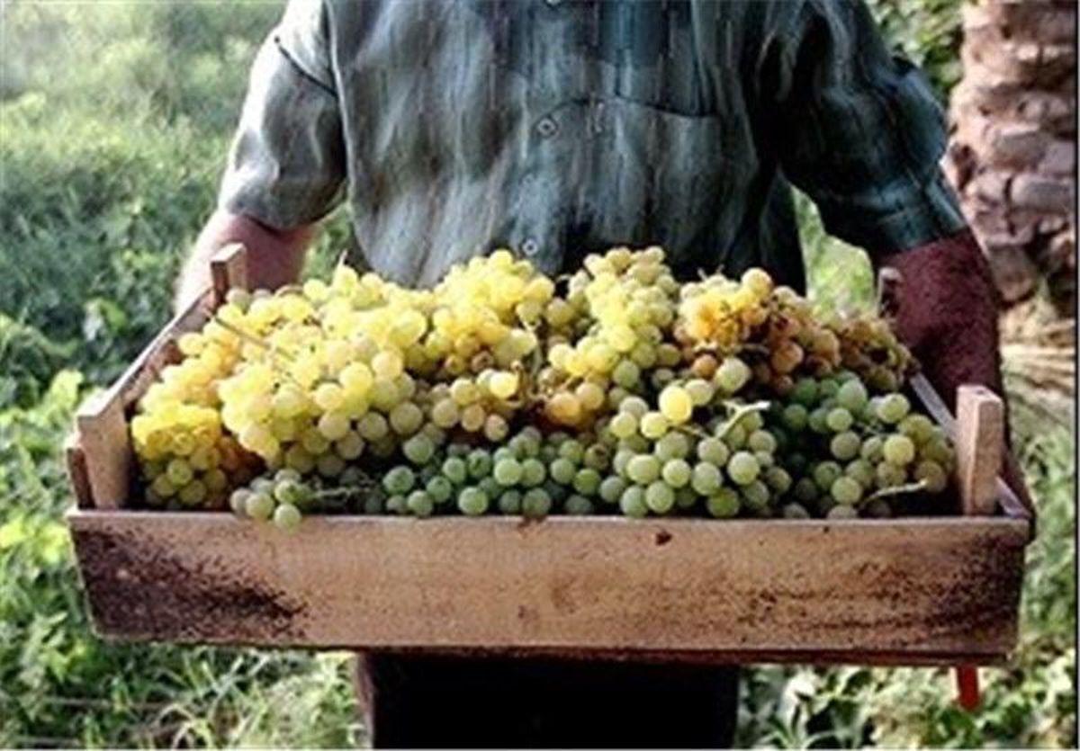 فارس در قله تولید انگور کشور