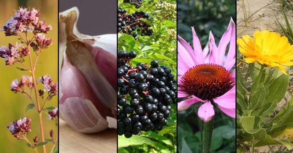 گیاهان دارویی ضد ویروسی را بهتر بشناسید