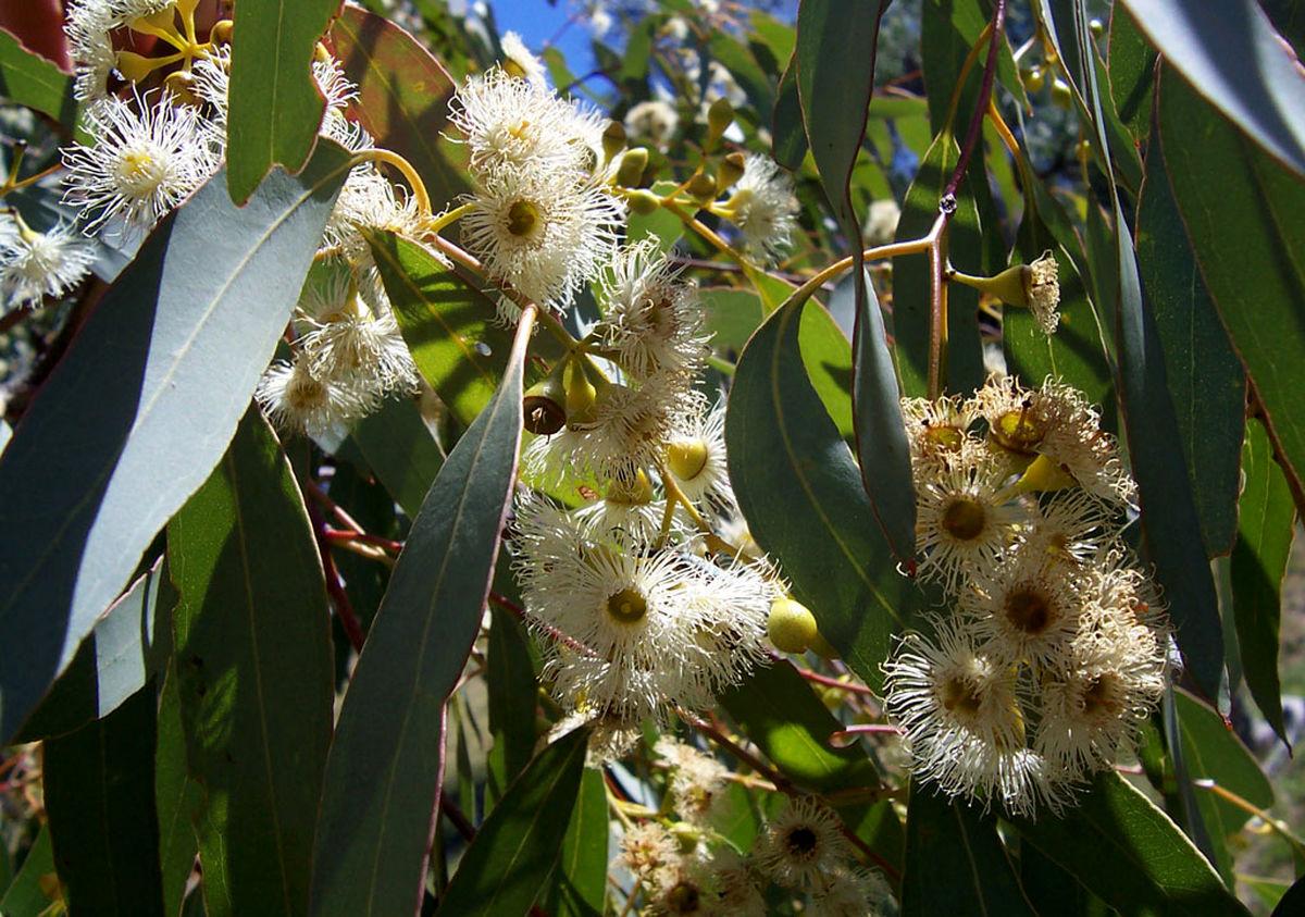 خواص جالب و شگفت انگیز گیاه اکالیپتوس