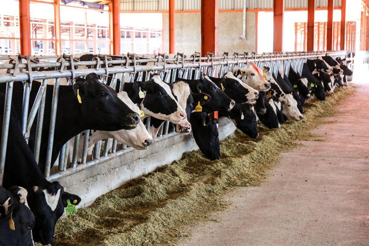 افزایش ۲۱ درصدی، تولید شیرخام در پگاه سلماس