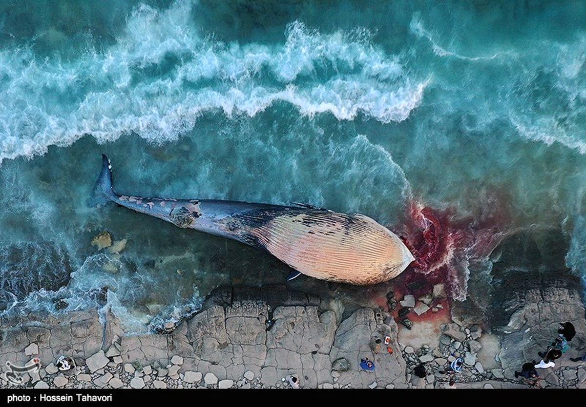 گزارش تصویری: لاشه یک نهنگ در ساحل سیمرغ کیش