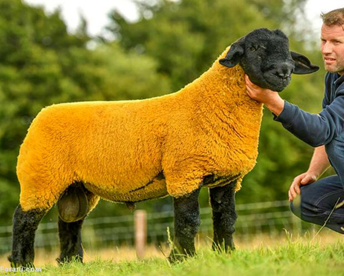 گوسفند ۵۲هزار دلاری در حراجی ایرلند!