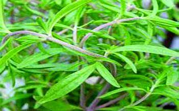 با این گیاه لاغری تان صد در صد تضمینی می شود