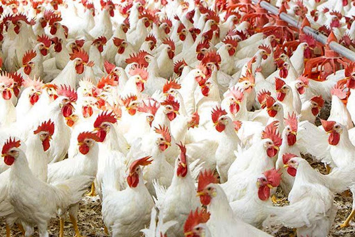 زیان ۲۵۰۰ تا ۳ هزار تومانی مرغداران در هر کیلوگرم مرغ