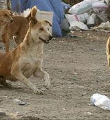 زن بی رحم 5 سگ را در تبریز دار زد + ویدئو