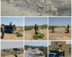 توزیع علوفه در زیستگاههای حیات وحش شهرستان خواف با همکاری مجتمع سنگان انجام شد